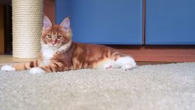 Maine Coon kitten play. Cute red Maine Coon kitten playing at home, 5,5 months old stock video