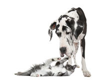 Maine coon kitten playing with a harlequin Great Dane Royalty Free Stock Photography
