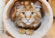 Maine Coon Kitten Stock Photo