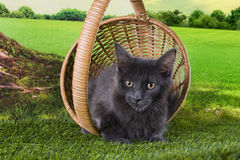Maine Coon kitten plays on a sunny summer day Stock Image