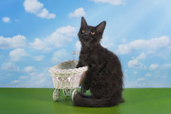 Maine Coon kitten plays on a sunny summer day under a tree Royalty Free Stock Photos