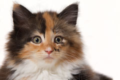 Maine Coon kitten portrait. Portrait of a beautiful tricolor Maine Coon kitten isolated on white Royalty Free Stock Images