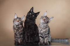 Maine Coon kitten portrait Stock Images