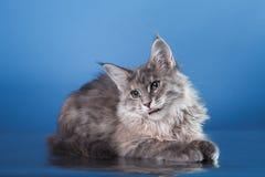 Maine Coon kitten portrait Stock Photo