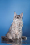 Maine Coon kitten portrait Royalty Free Stock Photo