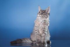Maine Coon kitten portrait Royalty Free Stock Photos