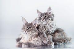 Maine Coon kitten portrait Stock Images