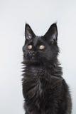 Maine Coon kitten portrait Stock Image
