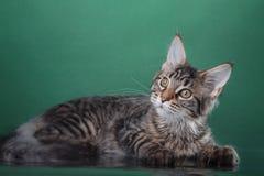 Maine Coon kitten portrait Stock Photography