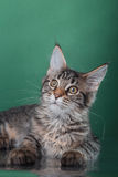 Maine Coon kitten portrait Royalty Free Stock Images