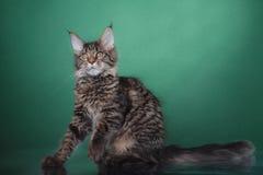 Maine Coon kitten portrait Stock Photos