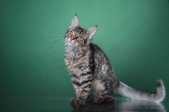 Maine Coon kitten portrait Royalty Free Stock Image