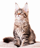 Maine Coon kitten Royalty Free Stock Photography