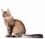 Maine Coon kitten Royalty Free Stock Image