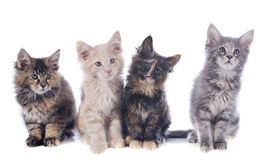 Maine coon kitten Stock Photos