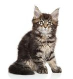 Maine Coon kitten posing Stock Images