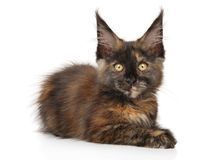 Tortoise color Maine Coon kitten on a white background royalty free stock photo