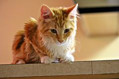 Maine Coon Kitten Pounce. A red Maine Coon giving a menacing look Royalty Free Stock Image