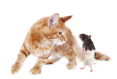 Maine coon kitten and rat Royalty Free Stock Images