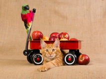 Maine Coon kitten with red wagon and apples Stock Photography