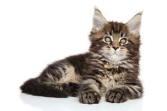 Maine Coon kitten resting Royalty Free Stock Image