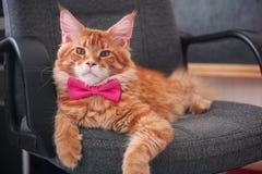 Maine Coon Kitten roja que lleva una corbata de lazo y que pone en una silla Fotografía de archivo
