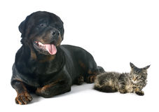 Maine coon kitten and rottweiler Stock Images