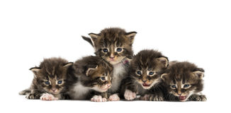 Maine coon kitten in a row Royalty Free Stock Images