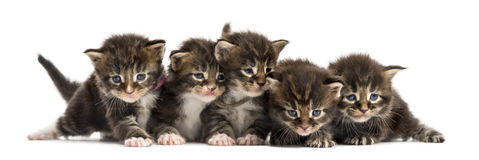 Maine coon kitten in a row Stock Photo
