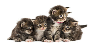 Maine coon kitten in a row Royalty Free Stock Photos