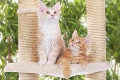 Maine Coon Kitten sammanträde på att skrapa stolpen Royaltyfria Foton
