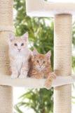 Maine Coon Kitten sammanträde på att skrapa stolpen Arkivbild