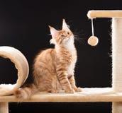 Maine Coon kitten royalty free stock photos