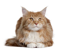 Maine Coon kitten sitting Stock Images