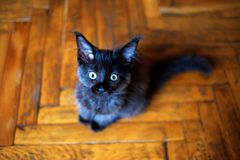 Maine Coon kitten sitting on the floor Stock Photos