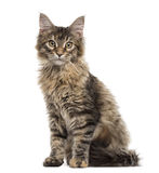 Maine Coon kitten sitting, isolated on white Royalty Free Stock Photography