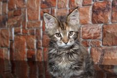 Maine coon kitten is sitting on the mirror flooring. Two month old Royalty Free Stock Images