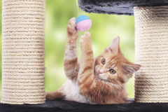 Maine Coon Kitten sitting on scratching post Royalty Free Stock Photo