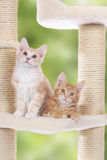 Maine Coon Kitten sitting on scratching post Royalty Free Stock Images
