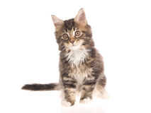 Maine Coon kitten sitting on white background Royalty Free Stock Photos
