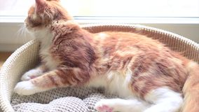 Maine Coon kitten sleep stock video