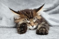 Maine Coon kitten sleep. Under blanket Royalty Free Stock Image