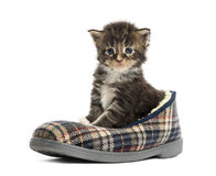 Maine coon kitten in a slipper Stock Photography