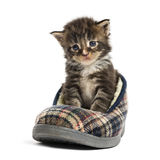 Maine coon kitten in a slipper Stock Photo