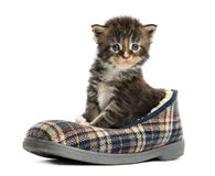 Maine coon kitten in a slipper Royalty Free Stock Image