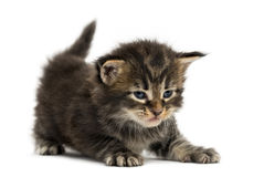 Maine coon kitten stretching Royalty Free Stock Images