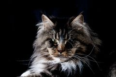 Maine Coon Kitten Royalty Free Stock Photos