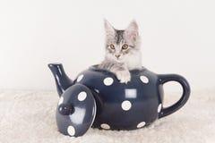 Maine coon kitten in tea pot Stock Photos