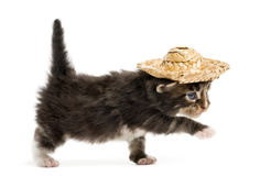 Maine coon kitten walking and wearing a hat Royalty Free Stock Photography