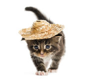 Maine coon kitten walking and wearing a hat Royalty Free Stock Photos